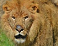 Serengeti lew Fotografia Royalty Free