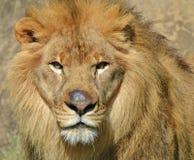 Serengeti lew Zdjęcia Stock