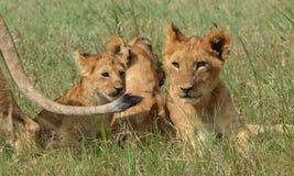 Serengeti Lion Cubs Stock Photo