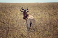 Serengeti National Park Antelope stock photos