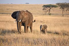 Mom Elephant and her little one at Seregenti, Tanzania stock images