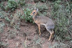 Dik-Dik a little scared at Serengeti, Tanzania. The Serengeti National park covers 14,750 square kilometres of grassland plains, savanna, riverine forest, and Stock Image
