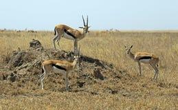 Serengeti national park Royalty Free Stock Images