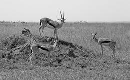 Serengeti national park Royalty Free Stock Photo