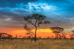 Serengeti national park in northwest Tanzania. With beautiful plants and sunset royalty free stock image