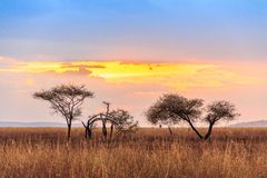 Serengeti national park in northwest Tanzania stock photo