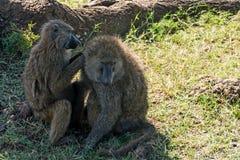 Serengeti National Park, Tanzania - Baboons Grooming Royalty Free Stock Photos