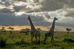 Serengeti National Park, Tanzania - Giraffes. The Serengeti National Park is a Tanzanian national park in the Serengeti ecosystem in the Mara and Simiyu regions royalty free stock image