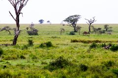 Serengeti National Park Landscape, Tanzania. Serengeti National Park, Tanzanian national park in the Serengeti ecosystem in the Mara and Simiyu regions royalty free stock photo