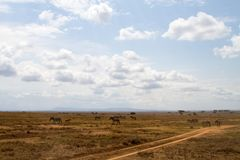 Serengeti National Park Landscape with zebra and wildebeests Royalty Free Stock Photos