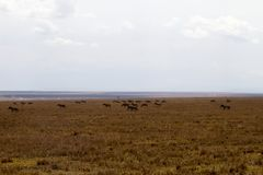 Serengeti National Park Landscape with zebra and wildebeests Royalty Free Stock Images