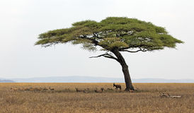 Serengeti national park Stock Image