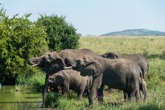 Serengeti nationalpark, Tanzania - elefanter som dricker från en flod Arkivfoton