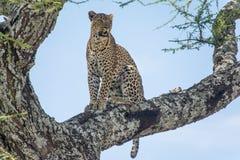 Serengeti nationalpark, Tanzania - leopard Arkivbild