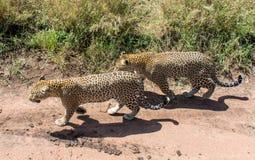 Serengeti nationalpark, Tanzania - leoparder Arkivbilder