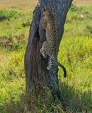 Serengeti nationalpark, Tanzania - leopardklättringträd Arkivfoton