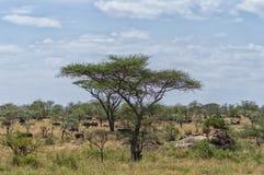 Serengeti-Panorama lizenzfreies stockbild