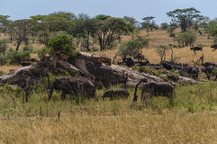 Serengeti Panorama Royalty Free Stock Image
