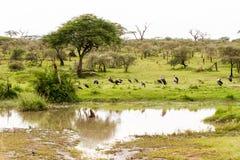 Serengeti Park Landscape with Marabou storks by lake. Marabou storks Leptoptilos crumenifer, large wading bird in the stork family Ciconiidae , called undertaker Royalty Free Stock Photos