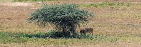 The Serengeti plains, panorama of the savannah stock image