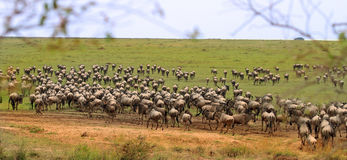 Serengeti plattar till att vimla med gnu royaltyfria foton