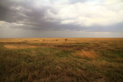 Serengeti Savannah and Jackson's Hartebeest. The Serengeti plains with Jackson's Hartebeest and incoming storm stock image