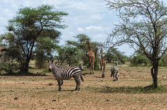 Serengeti Scene Royalty Free Stock Images