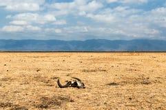 Serengeti Skull Stock Photography