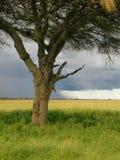 Serengeti Tanzanie Image libre de droits