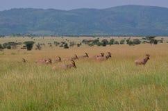 Serengeti Royalty Free Stock Photo