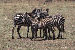 Serengeti Zebras Stock Image