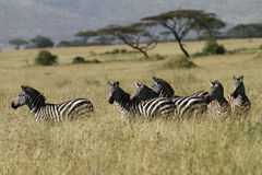 Serengeti Zebras. Herd of Zebra on the Serengeti Plains royalty free stock photo