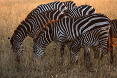 Serengeti Zebras Stock Photography