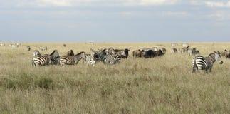 Serengeti zwierzęta w wysokiej trawie Zdjęcie Royalty Free