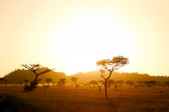 Serengetisavanne in ochtendlicht Stock Foto's