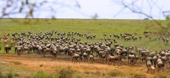 Serengetivlaktes die met het meest wildebeest storten Royalty-vrije Stock Foto's