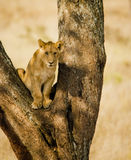 Serengetti Lion Cub. Portrait of an african lion cub learning feline tree climbing skills in the East African savannah. Golden eyed young hunter surveys the royalty free stock images