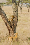 Serengetti Lioness and Cub. Portrait of an african lion cub learning feline tree climbing skills in the East African savannah. Mother lioness regards her stock photos