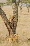 Serengetti Lioness och gröngöling Arkivfoton