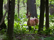 Serenity. A doe eating in the forest stock photos