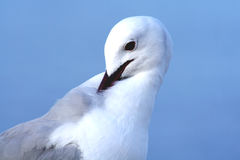 Serenity. A Hartlaub's gull looking very serene Royalty Free Stock Photography