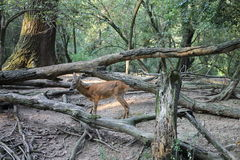 Serenity. Deer in relax Stock Photography