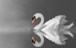 Swan on lake. Serenity swan swimming in lake mist royalty free stock image
