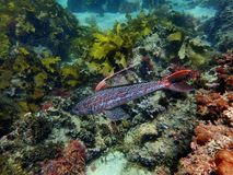 Sergeant baker fish in all its finery. Sergeant baker fish. Photo taken at the Cabbage Tree Bay Aquatic Reserve in Sydney, Australia Stock Photography