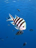 Sergeant fish Stock Image