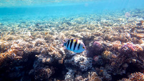 Sergeant Fish. In the Coral Reef, Red Sea royalty free stock photos