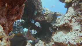 Sergeant Major And Bristle Tooth. Close Up Shot Of Sergeant Major Damselfish And Two Bristle Tooth Surgeon Fish Visiting On A Coral Reef In The Maldives stock video footage