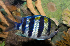 Sergeant Major Damsel Fish (Abudefduf saxatilis) Royalty Free Stock Images