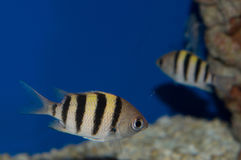 Sergeant Major Damelfish. The Sergeant Major Damsel Fish is a beautiful, hardy saltwater fish that can make a lovely addition to many aquariums. Larger than most royalty free stock image