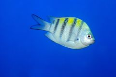 Sergeant major damselfish Stock Photo